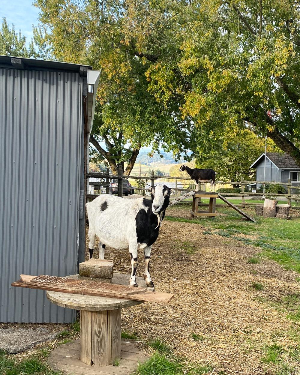Goats at Abbey Road Farm